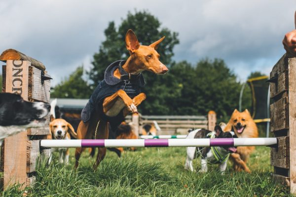 Dog Agility Training London